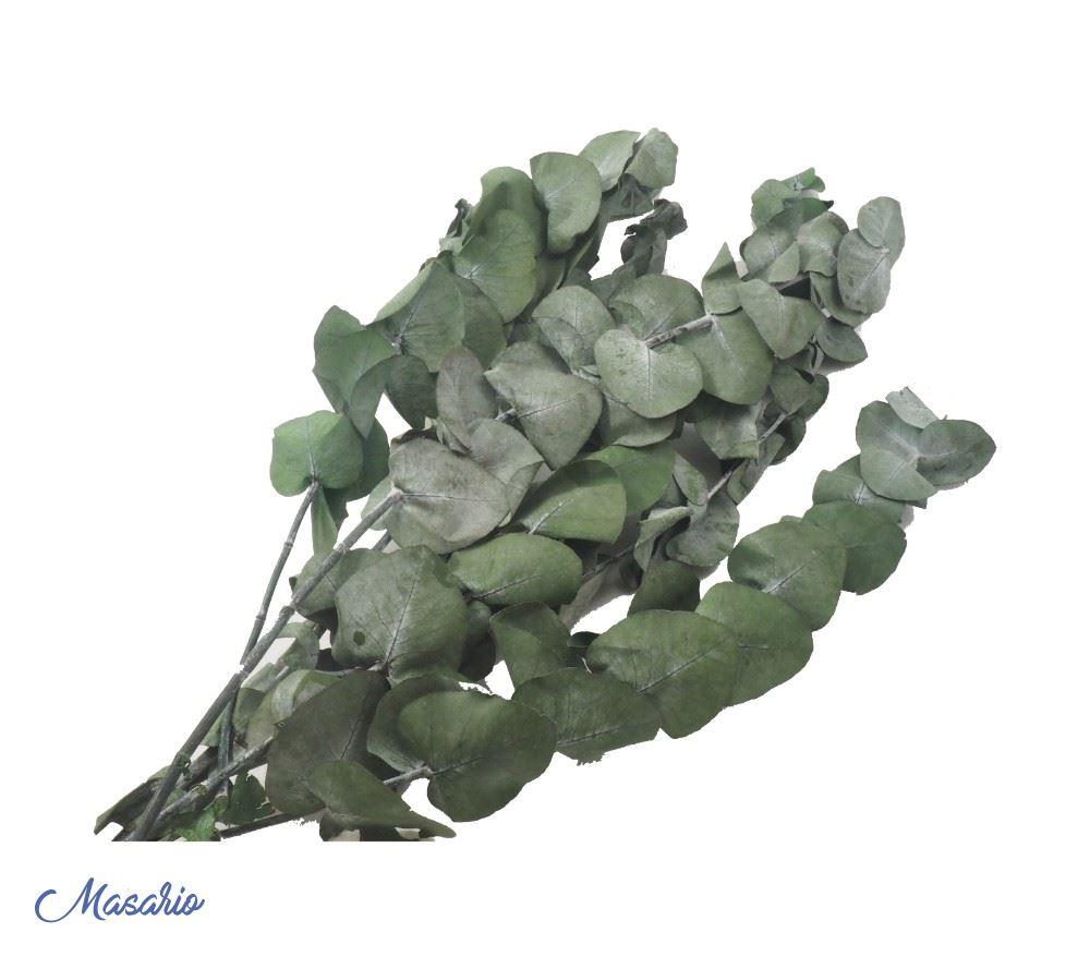 Rama hojas eucalipto
