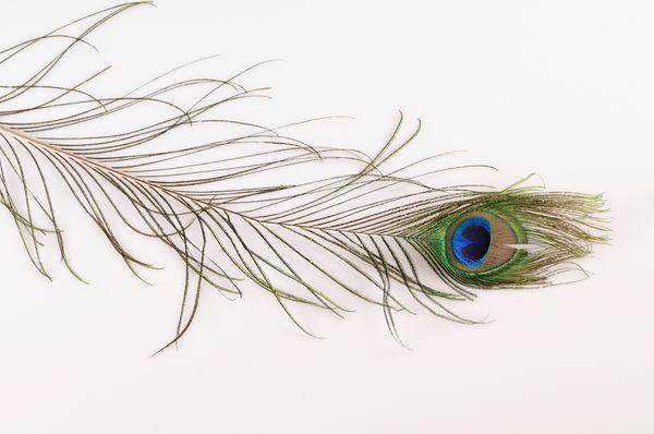 Pluma de pavo real natural