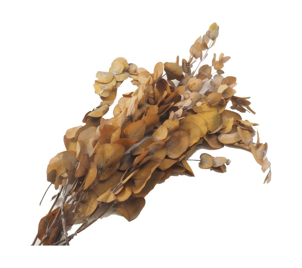 Branch eucalyptus leaves