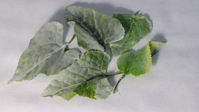 5 hojas aterciopeladaS 10-12 cm